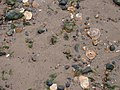 Stones, Sand and Shells - geograph.org.uk - 668475.jpg