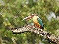 Stork billed kingfisher-kannur-kattampally - 21.jpg