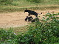 Stray Dog with Puppies at Thubarahalli 11-26-2011 1-30-10 PM.JPG