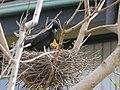 Strepera graculina chick 4.jpg