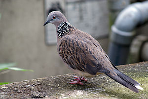 Streptopelia - The Spilopelia group (here: Spotted dove, S. chinensis) has a multi-spotted neck pattern unlike other Old World doves