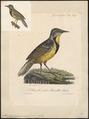 Sturnella ludoviciana - 1825-1834 - Print - Iconographia Zoologica - Special Collections University of Amsterdam - UBA01 IZ15800277.tif