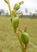Stylidium graminifolium fruit2 - Flickr - Macleay Grass Man.jpg