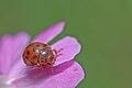 Subcoccinella vigintiquatuorpunctata.jpg