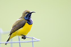Sunbird bath time 2 (22833779550).jpg