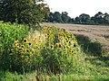 Sunflowers, Rummers Lane, Wisbech St Mary - geograph.org.uk - 1438943.jpg