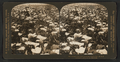Superb calla lillies growing in field, Cal., U.S.A, from Robert N. Dennis collection of stereoscopic views 2.png