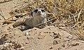 Suricate (Suricata suricata) (6531469645).jpg