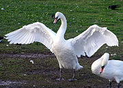 A mute swan spreads its wings