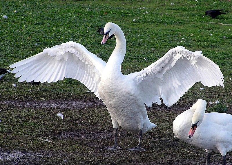 Ficheiro:Swan.spreads.wings.arp.jpg