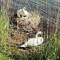 Swans nest - Ticino river.jpg