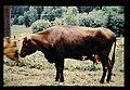 Swedish Red And White, Svensk Rod Och Vit Boskop = 世界の牛 スェーデン赤白斑牛(雌) (36706369755).jpg