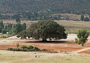 Ficus sycomorus - Image: Sycomore in Ethiopia