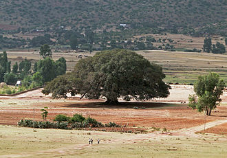 Kikuyu people - Sycamore (Mũkũyũ) tree