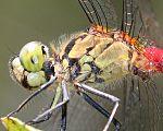 Sympetrum eroticum (male head and thorax).jpg