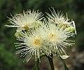 Syzygium hemisphericum 12.jpg