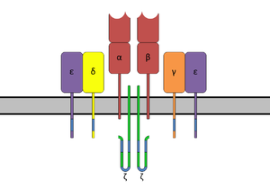 T-cell receptor - The T-cell receptor complex with TCR-α and TCR-β chains, CD3 and ζ-chain accessory molecules.
