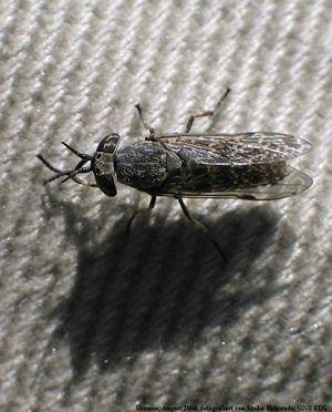 Rainfly (Haematopota pluvialis)