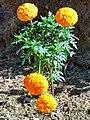 Tagetes ( Marigold) Bangla - গাঁদা.jpg