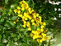 Tagetes lucida in a plant pot flowers.jpg