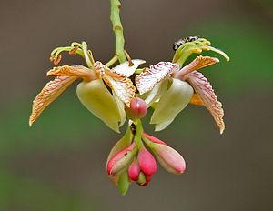 300px-Tamarindus_indica_%28Emli%29_flowers_W_IMG_9164.jpg