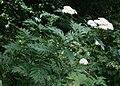 Tanacetum macrophyllum 3.jpg