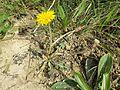 Taraxacum serotinum sl17.jpg