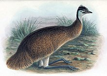 1910 Restoration Of The Tasmanian Emu One Of Two Sub Species Which Were Hunted Out Of Existence