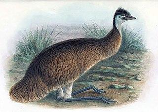 Tasmanian emu Extinct subspecies of bird