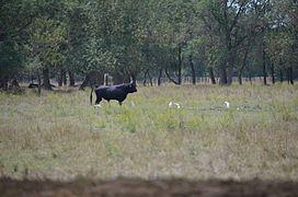 Taureau de la manade, dans les prés des Hourtès. 7115c4e58e2