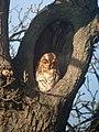 Tawny Owl (Strix aluco) - geograph.org.uk - 419258.jpg