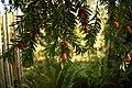 Taxus baccata (Taxaceae) 2.jpg