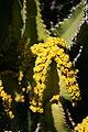 Teguise Guatiza - Jardin - Euphorbia 02 ies.jpg