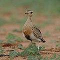 Temminck's courser, Cursorius temminckii, at Mapungubwe National Park, Limpopo Province, South Africa (31921735407).jpg