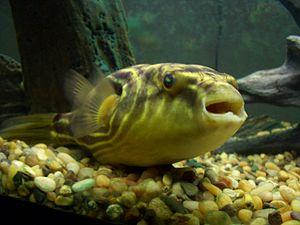 Tetraodon - Fahaka pufferfish (T. lineatus)