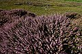 Texel - De Geul - View North on Flowering Heather.jpg
