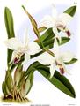 The Orchid Album-01-0134-0044-Laelia anceps dawsonii.png