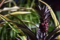 The bromeliads (24651847173).jpg