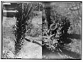 The terrible plague of locusts in Palestine, March-June 1915. Locusts devouring the hard palm leaves; (Another view of locusts devouring the hard palm leaves). LOC matpc.01892.jpg