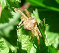 Thomisidae.. Misumeninae. (Ozyptila sp^) - Flickr - gailhampshire.jpg
