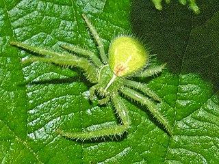 <i>Heriaeus</i> genus of arachnids