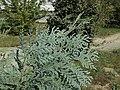 Thuja koraiensis foliage.JPG