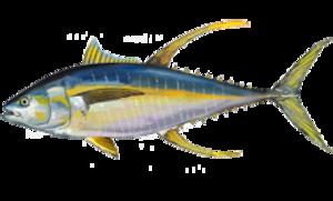 Neothunnus - T. albacares yellowfin tuna