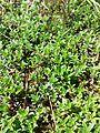 Thymus serpyllum s. str. sl2.jpg