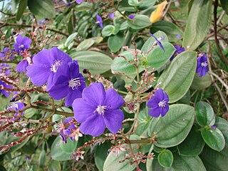 <i>Tibouchina heteromalla</i> species of plant