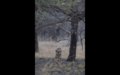 Tiger in Ranthambore 28.png