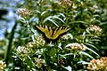 Tiger swallowtail butterfly papilio glaucus linnaeus insecta lepidoptera papilionidae.jpg