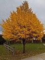 Tilia americana in Chicoutimi.jpg