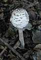 Toadstool next to Footpath 1789 - geograph.org.uk - 252584.jpg