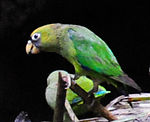 Green parrot with yellow head and black tail tips